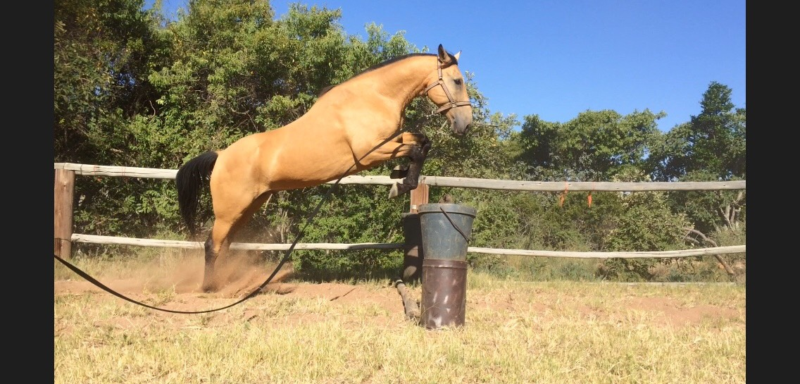 Waterford Quarter Horse X Gelding For Sale