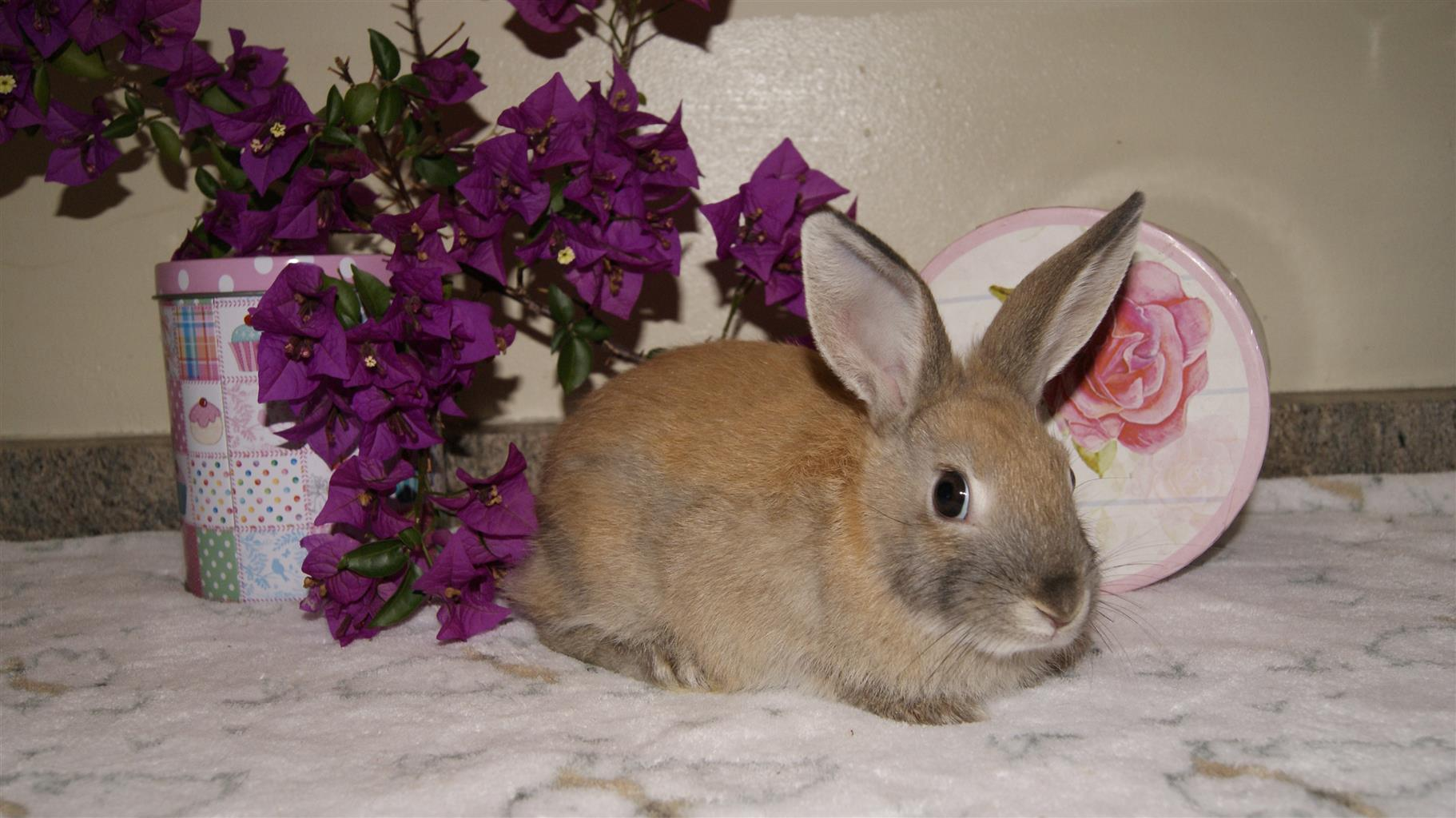 Beautiful Netherland dwarfs available