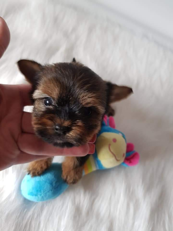 Teacup Yorkshire terrier boy