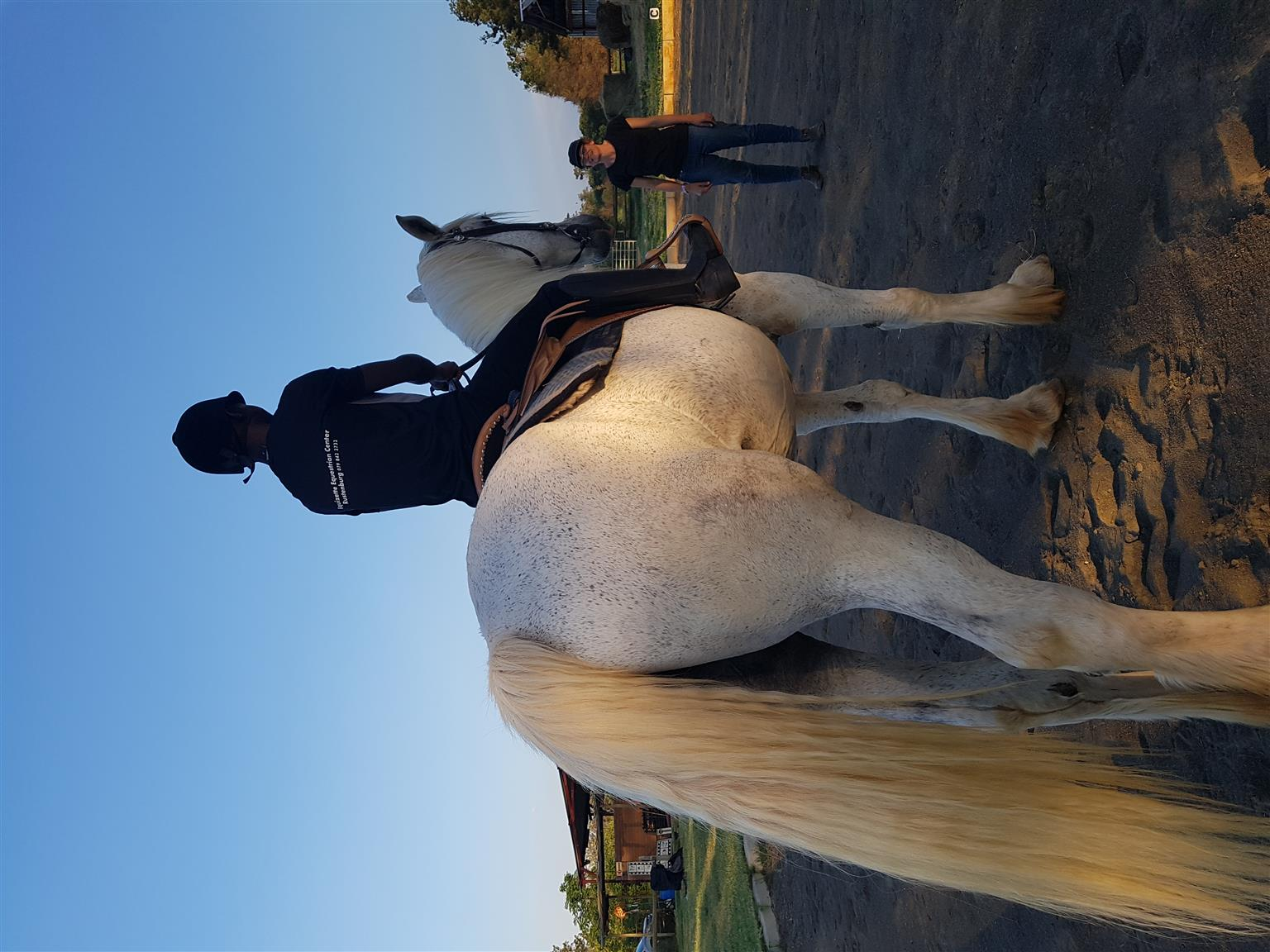 For sale: lovely percheron gelding thats over 18hh. Docile horse. Vet checks welcome.