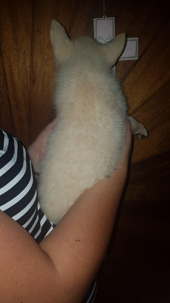 Swiss white shepherd pups