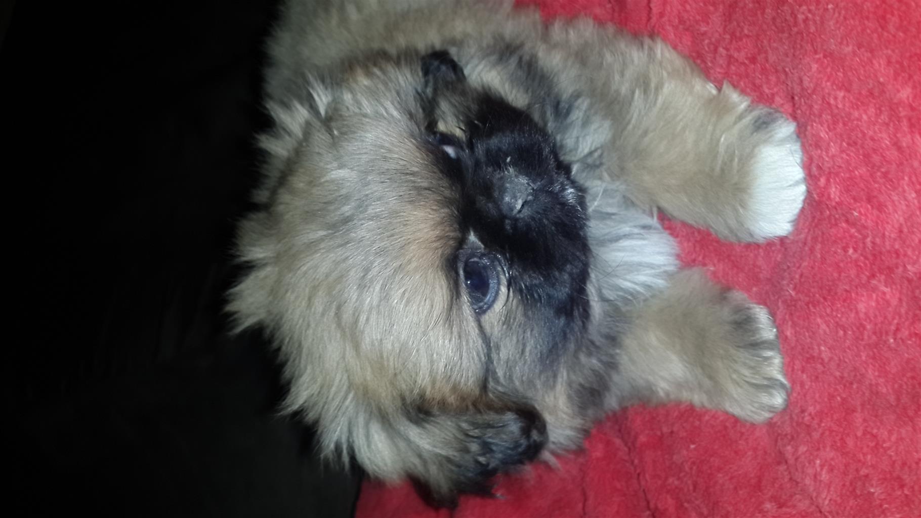 Pikanese Puppies