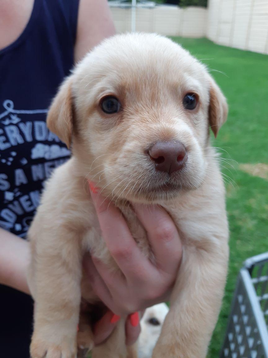 Purebred golden labrador puppies