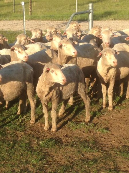Merino sheep ewes lambs on special