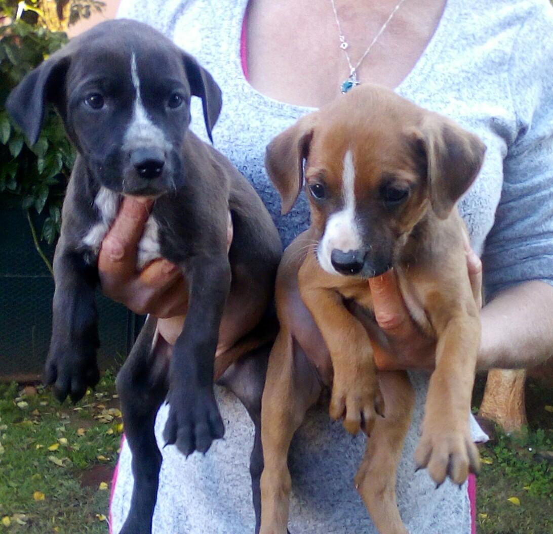 Boxer X Great Dane puppies