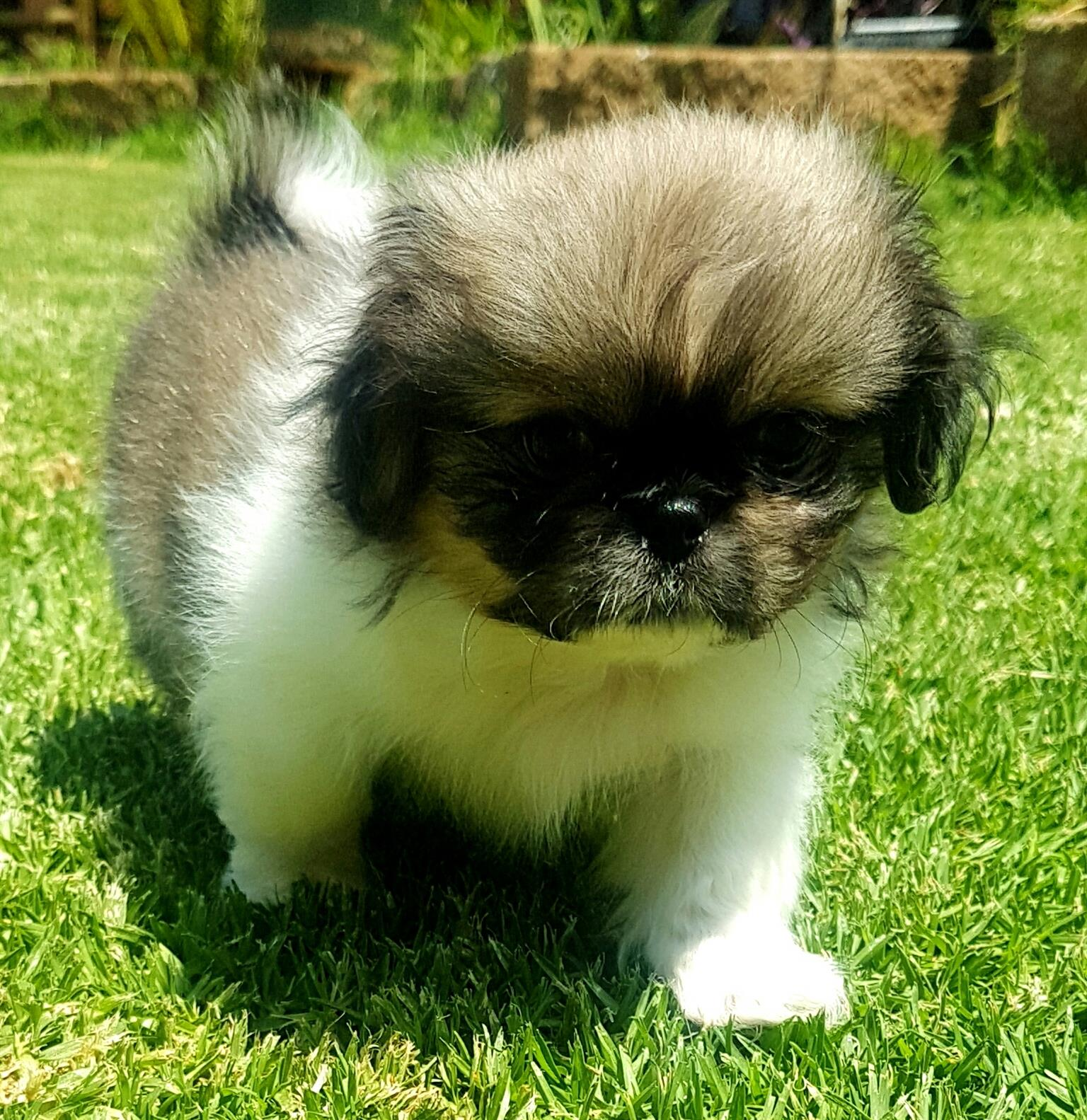 PEKENGISE PUPS FOR SALE