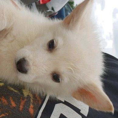 Swiss white Canadian shepherd pups