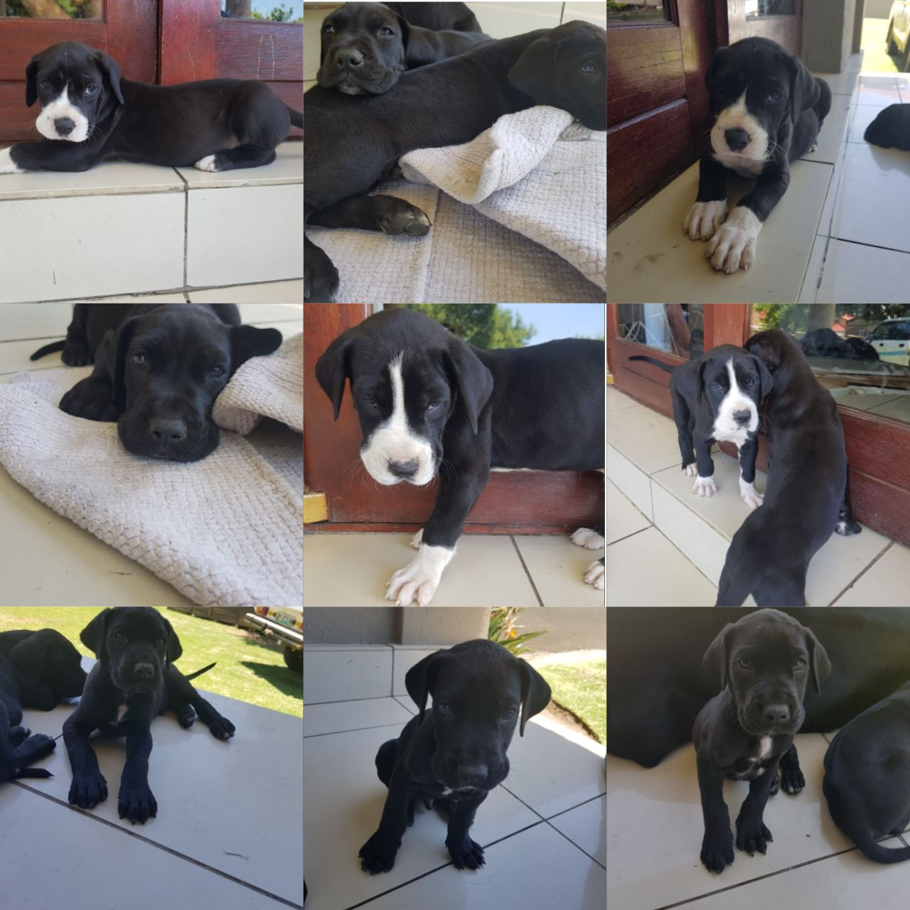 Grate Dane puppies