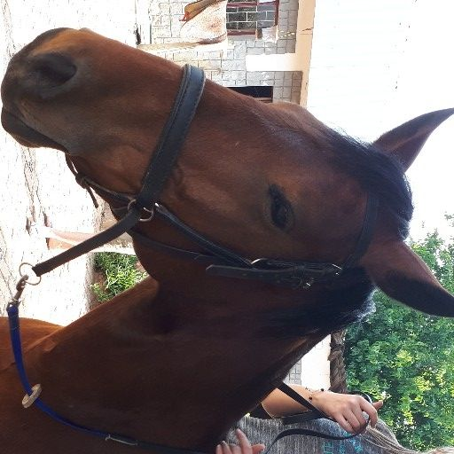 bitless bridle with blue reins for sale