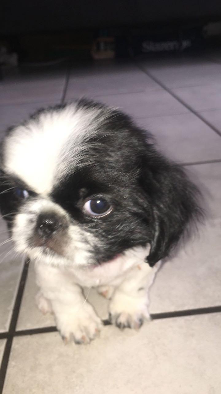 Last female Pekingese Pup Available