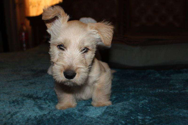 Registered Wheaten Scottish Terrier puppies for sale