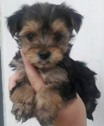 Yorkie male pup for sale