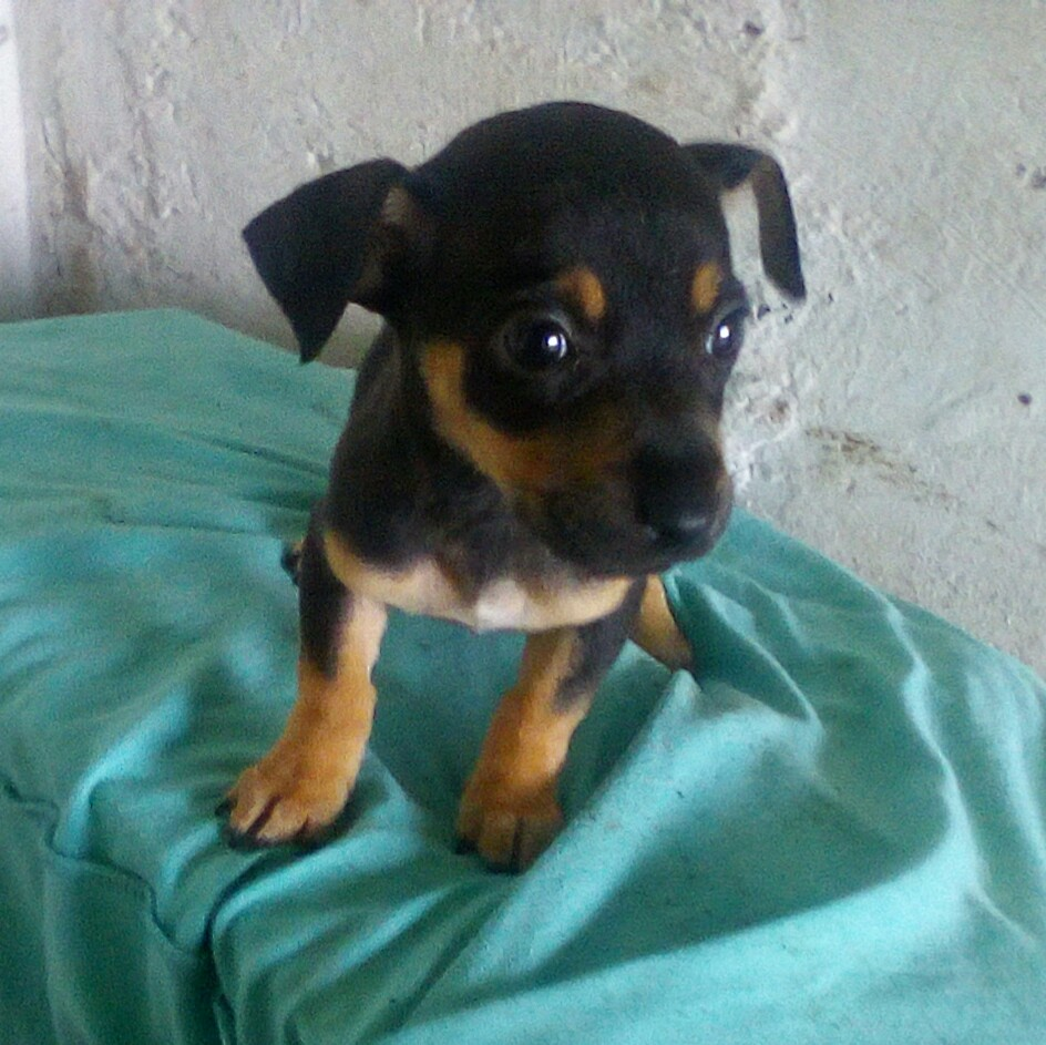 Miniature Pinscher puppy (bokkie)