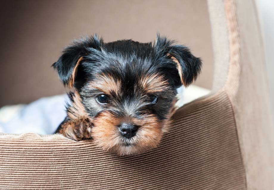 Registered Small or Teacup Yorkies