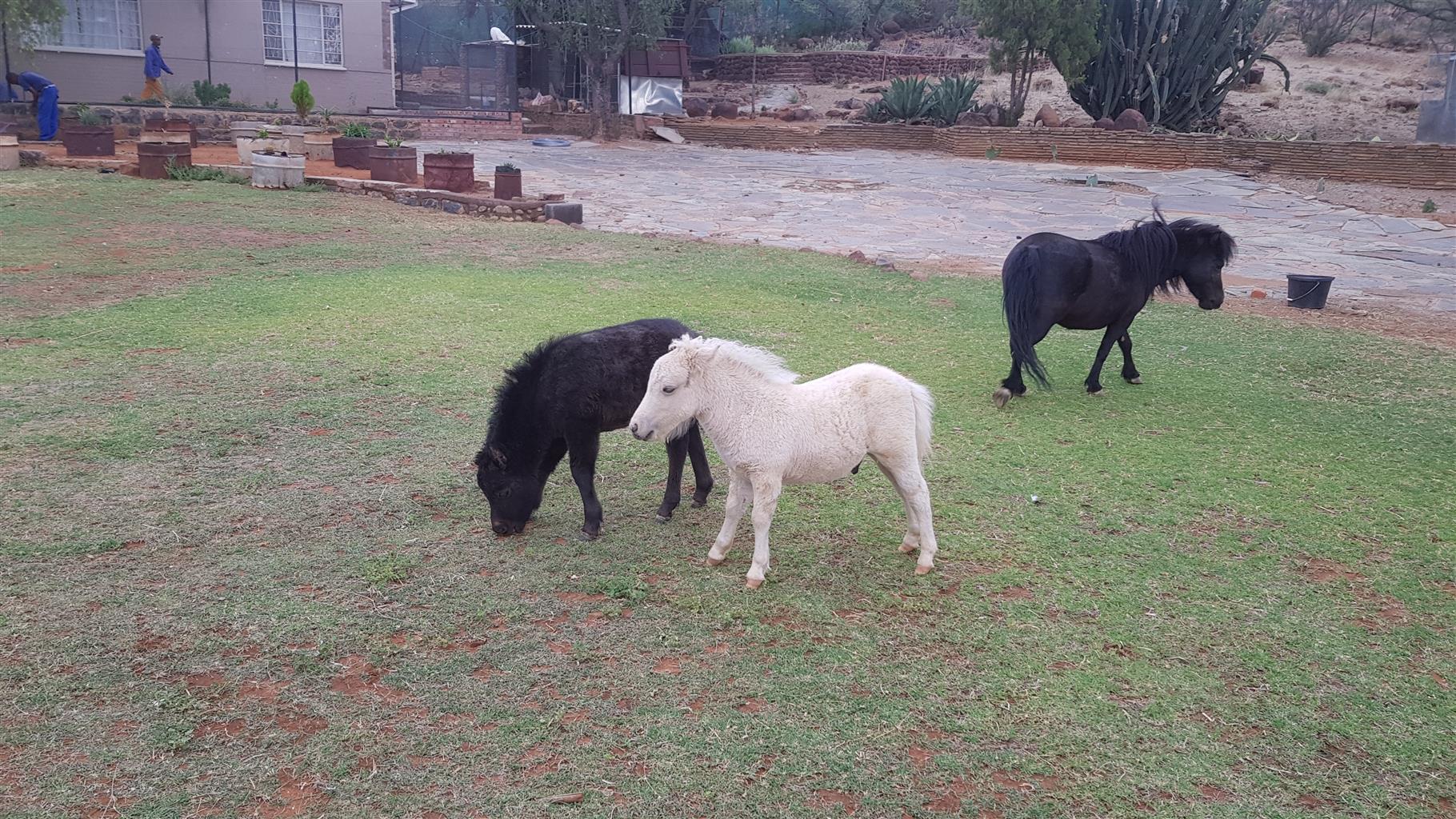 Miniature horse for sale