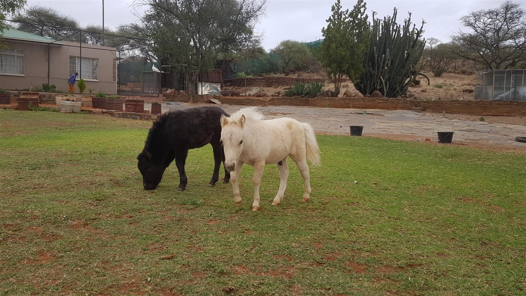 Miniature horse for sale