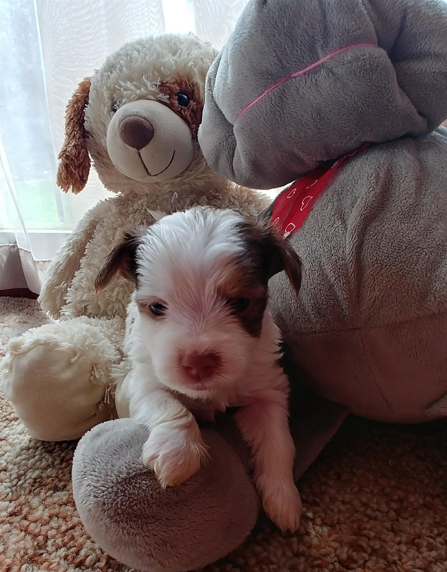 Havapoo Puppies For Sale - Yorkie pups