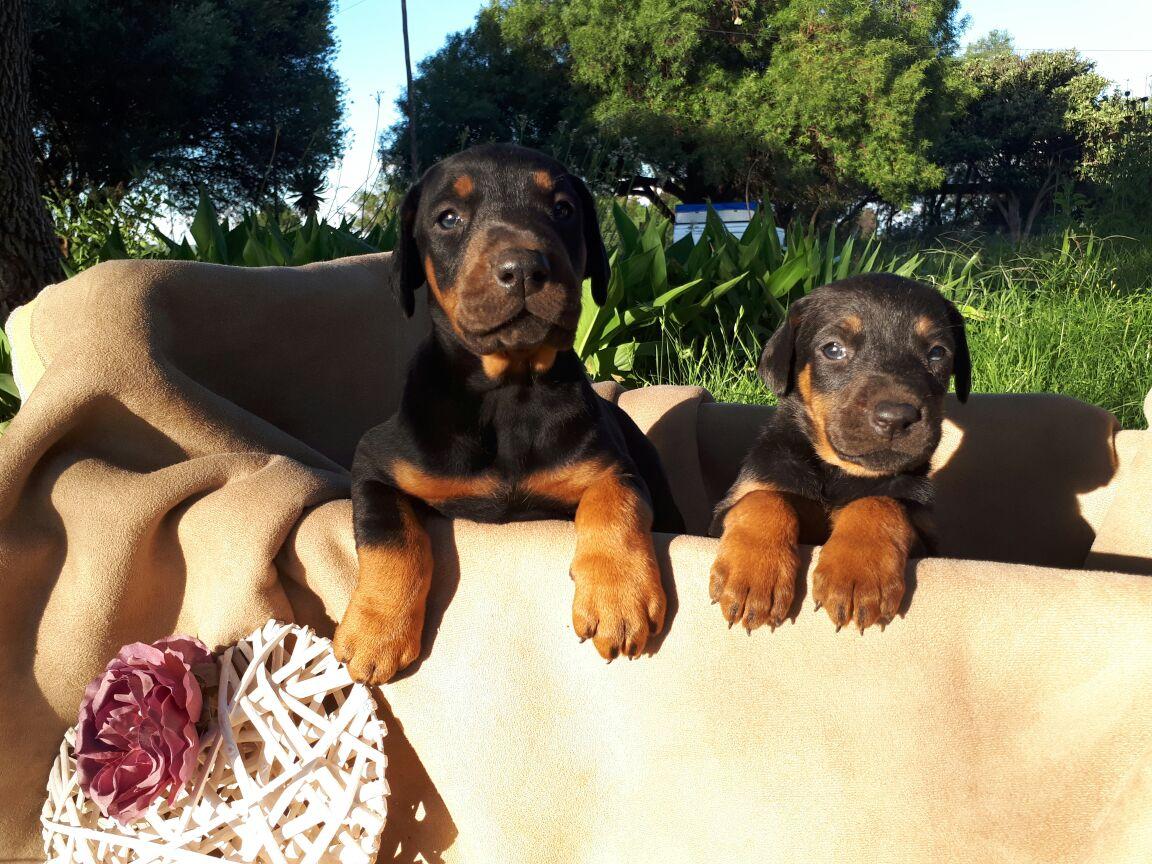 Dobermann puppys