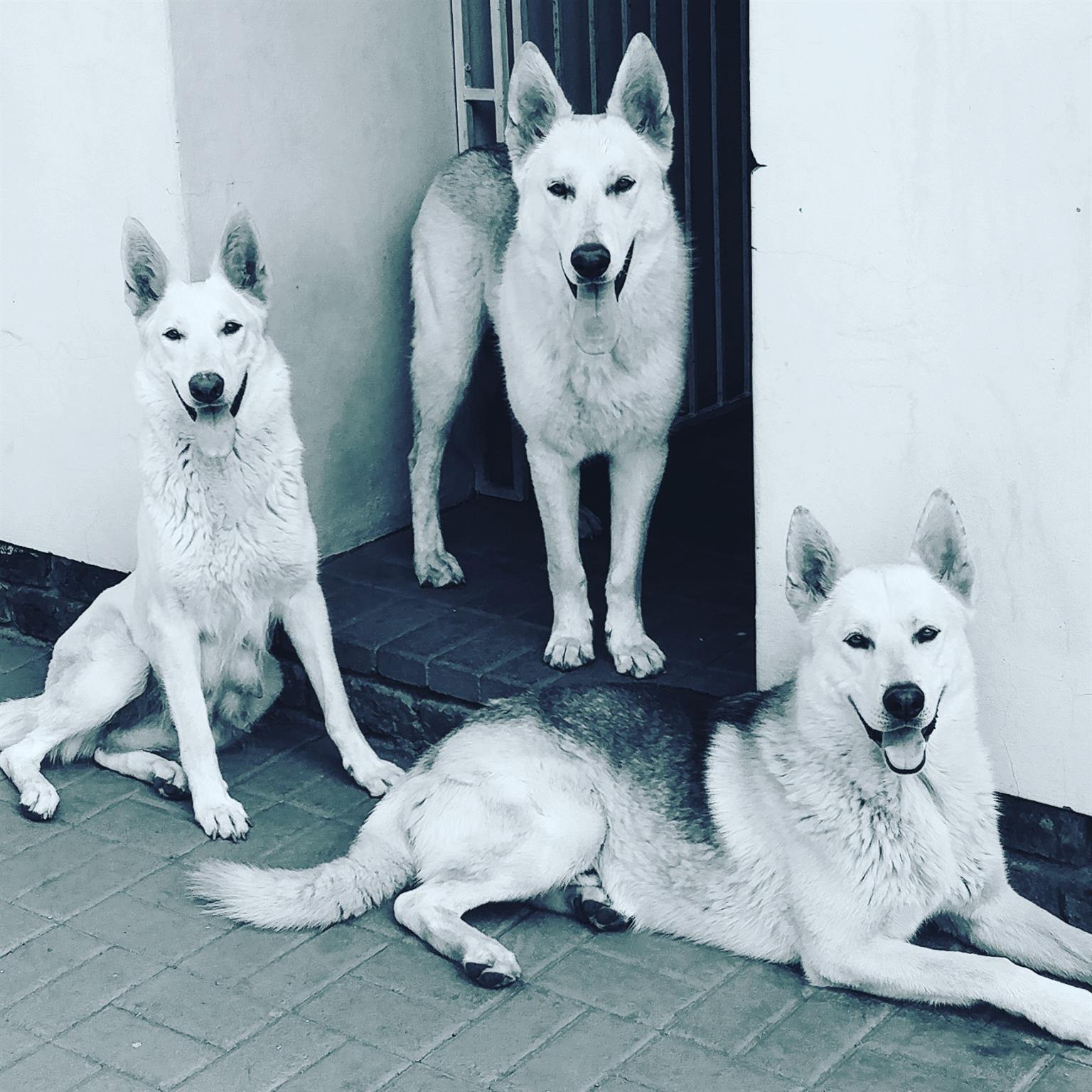 Alaska Shepherd puppies for Sale