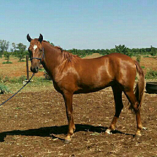 URGENT SALE- Anglo Arab x Boerperd Crossbreed stallion
