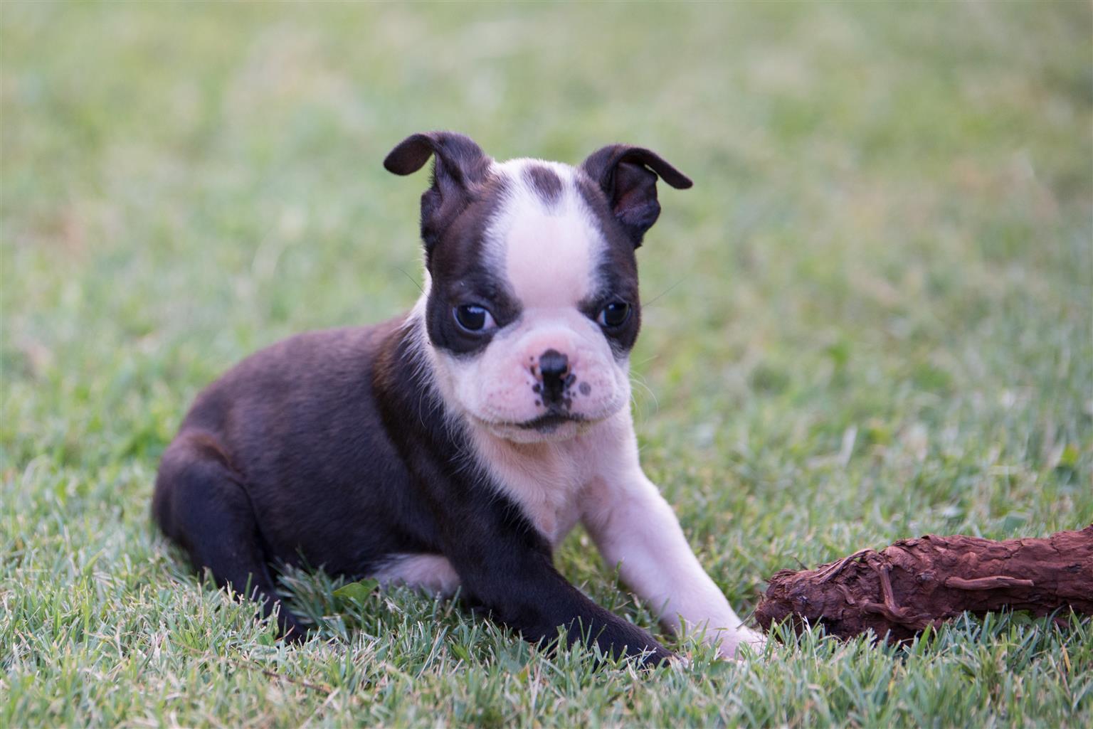 Boston Terrier hondjies te koop