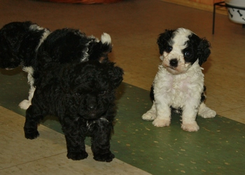 Miniature Poodle Puppies For Sale.