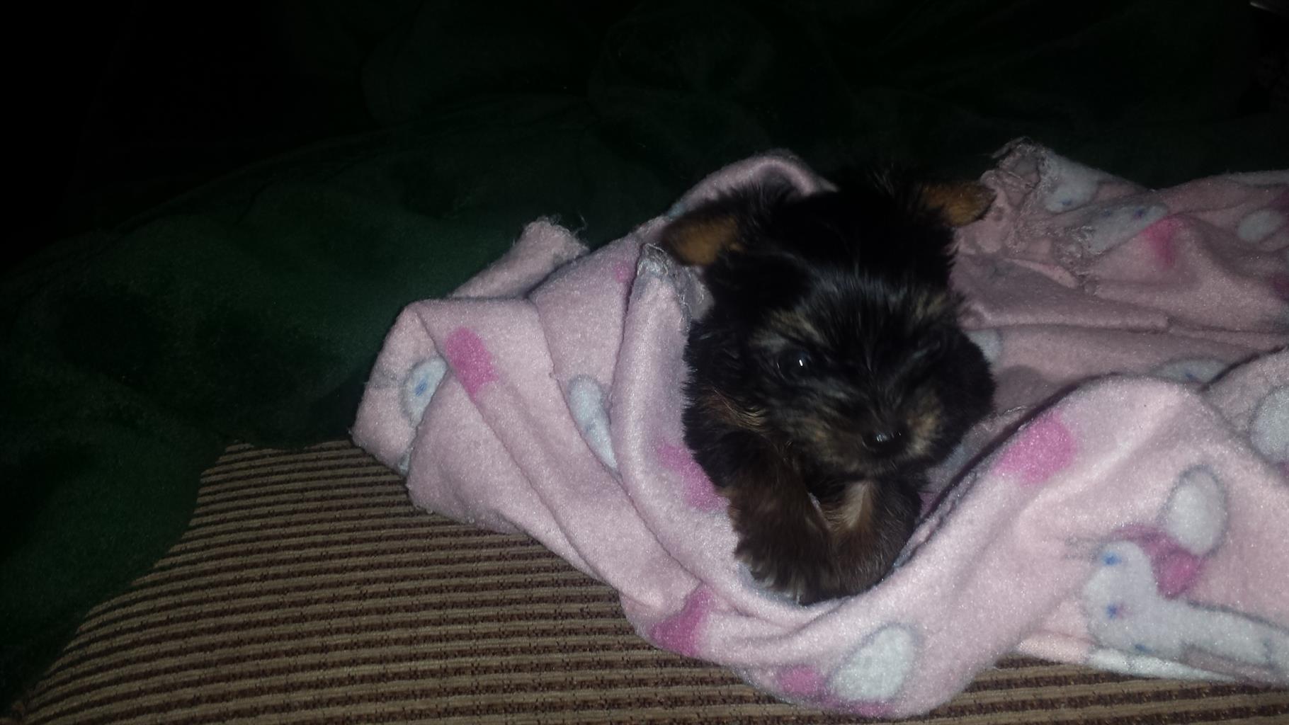 Yorkshire Terrier Teacup puppies