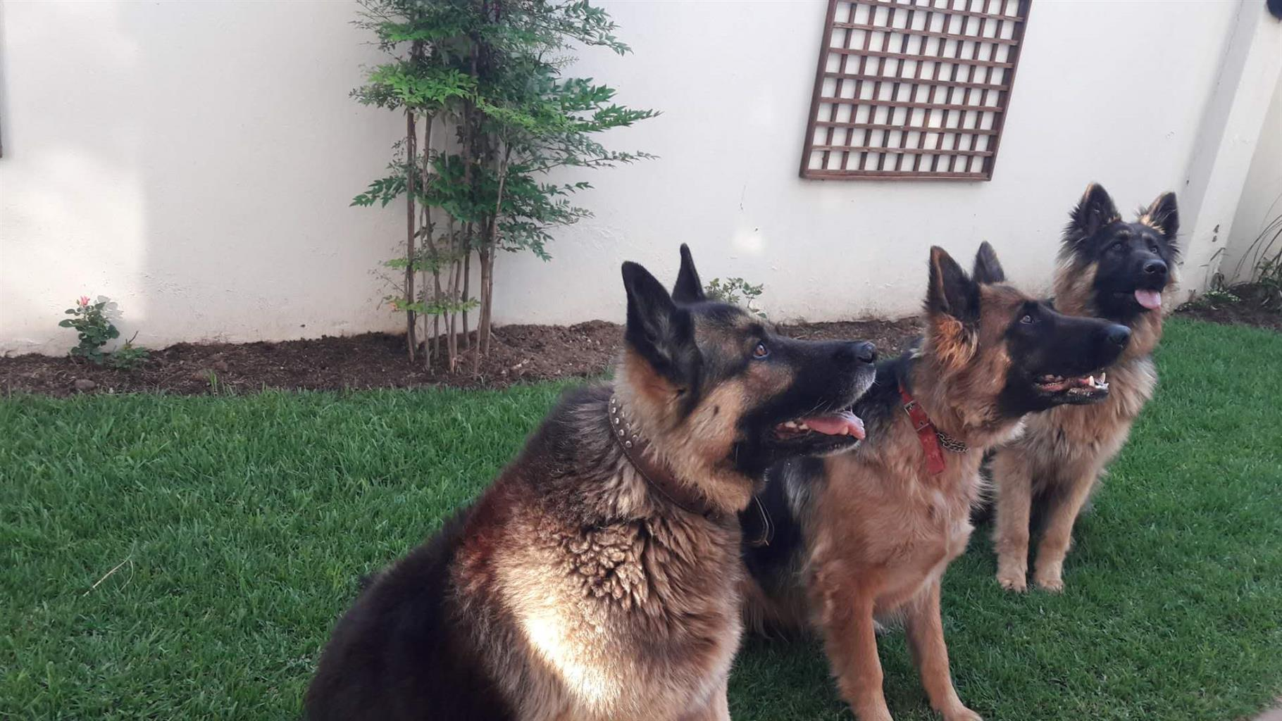 Pure breed german shephed  for sale