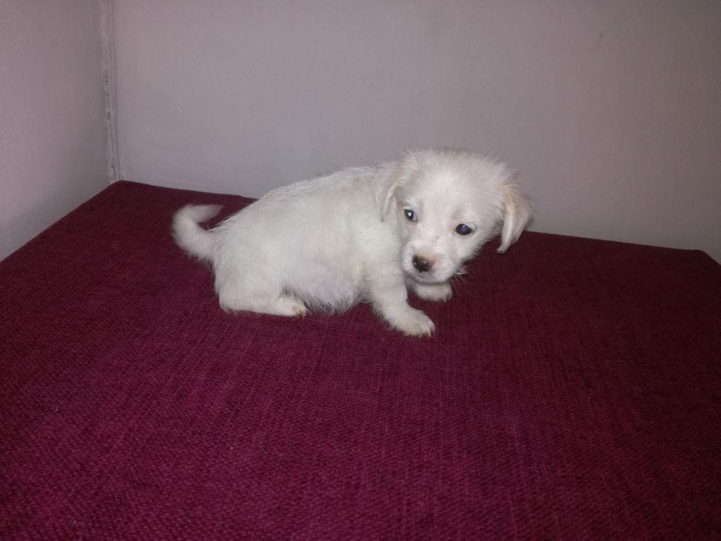 miniature maltese x jack russel pups