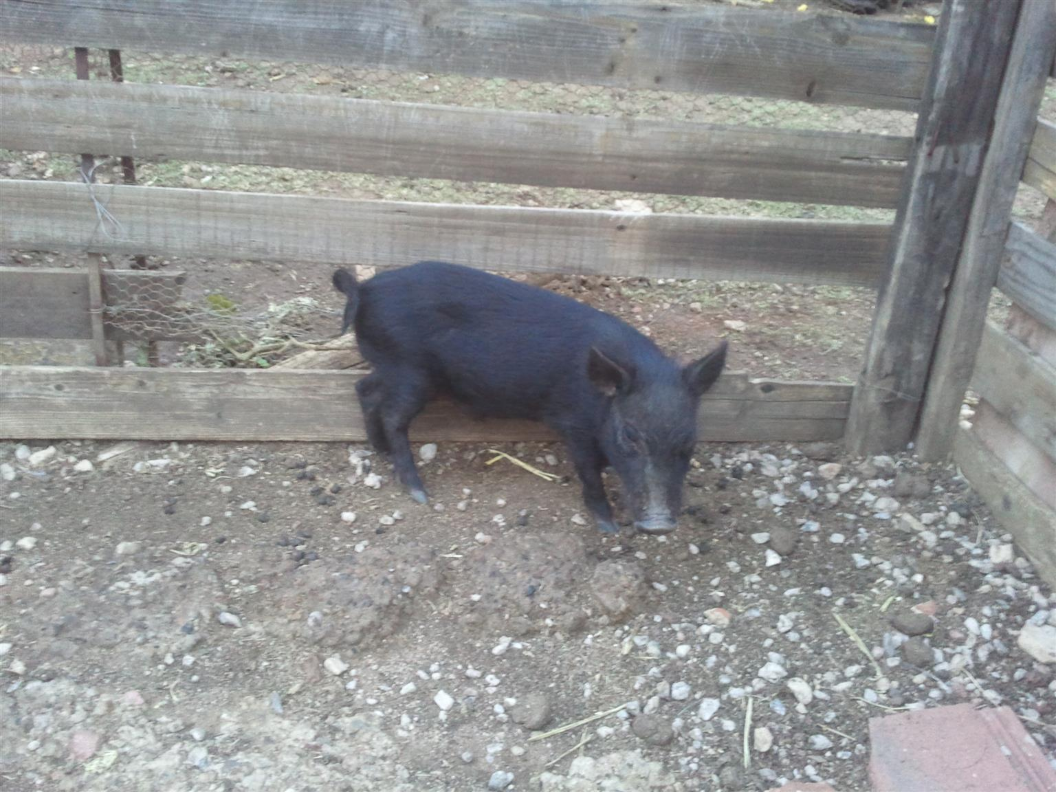 1 Beautiful Vietnamese Potbelly  Pigs for sale
