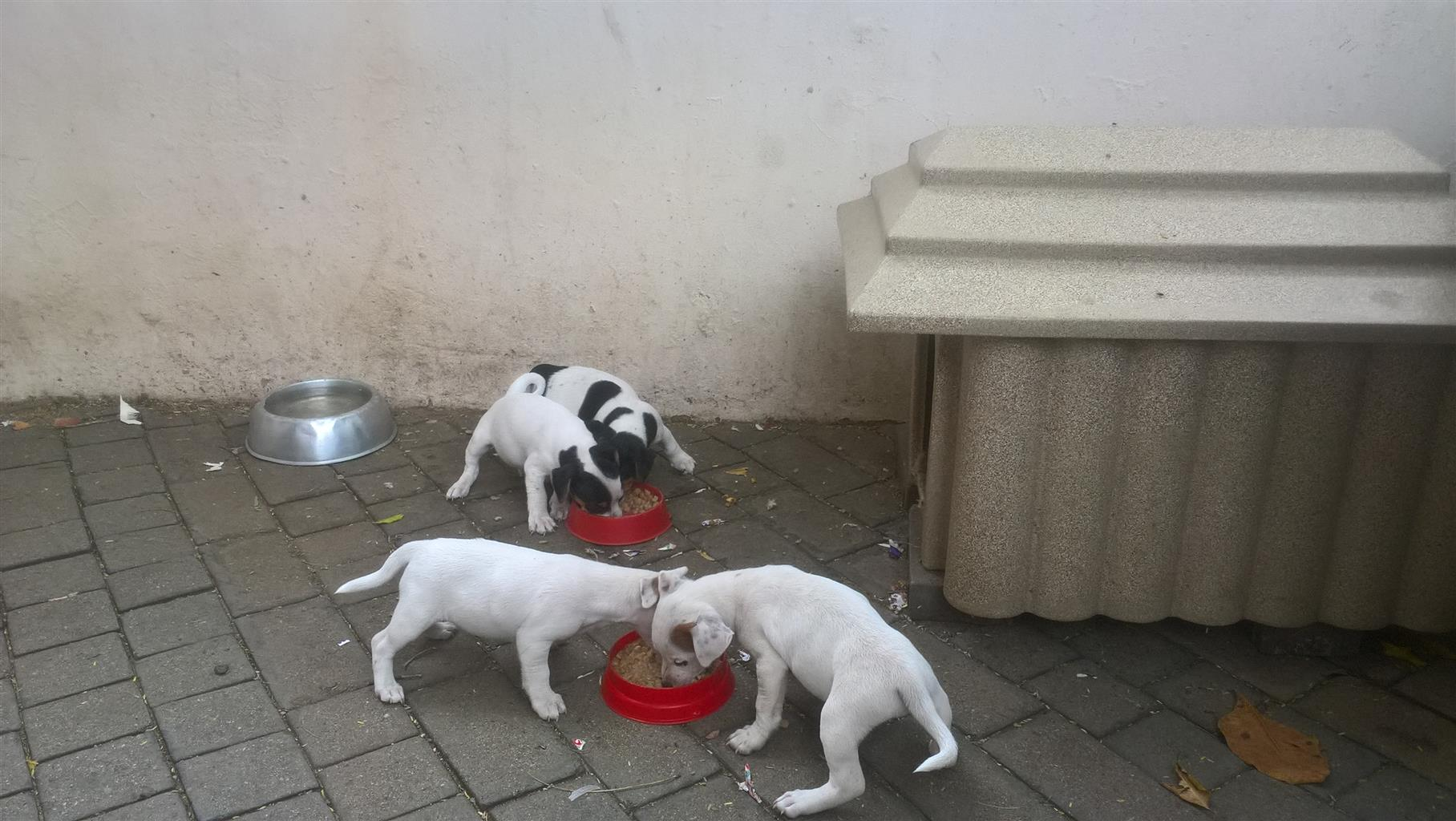 Pure Bred Jack Russel puppies for Sale