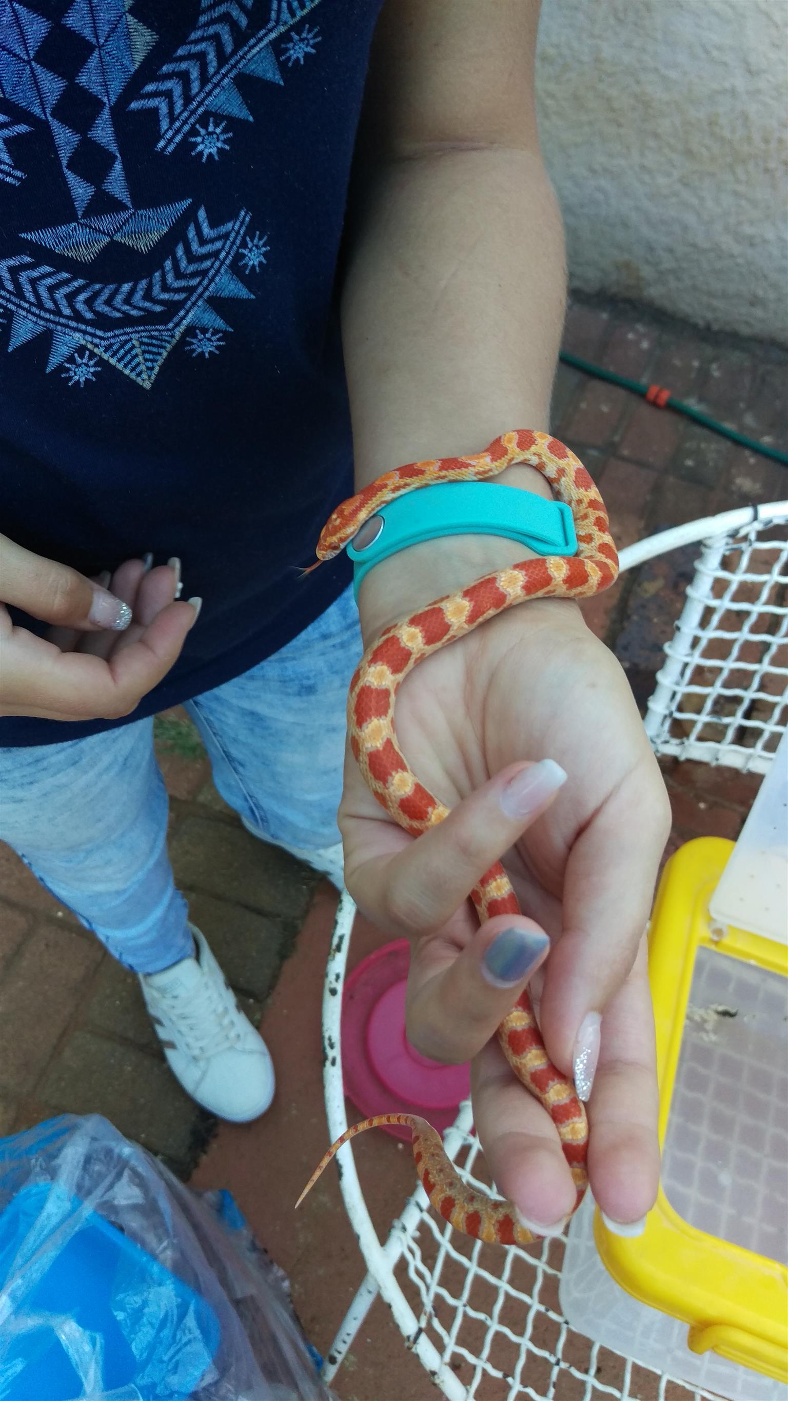 1x Albino Corn snake with Reptile tank 600 (L) x 450 (W) x 550 (H)