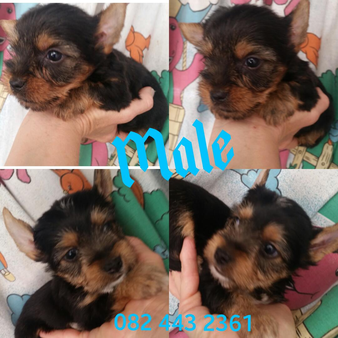 Yorkshire Terrier females and males
