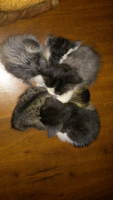 Kittens Mixed colors