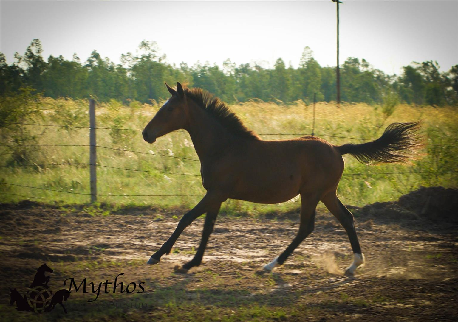 Warmblood filly for sale - Mythos Eowyn