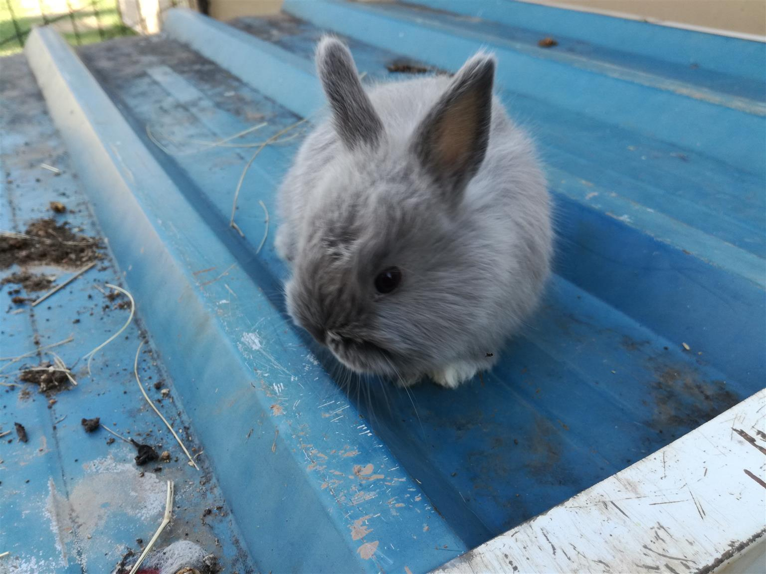 Jersey wooly rabbits / bunnies