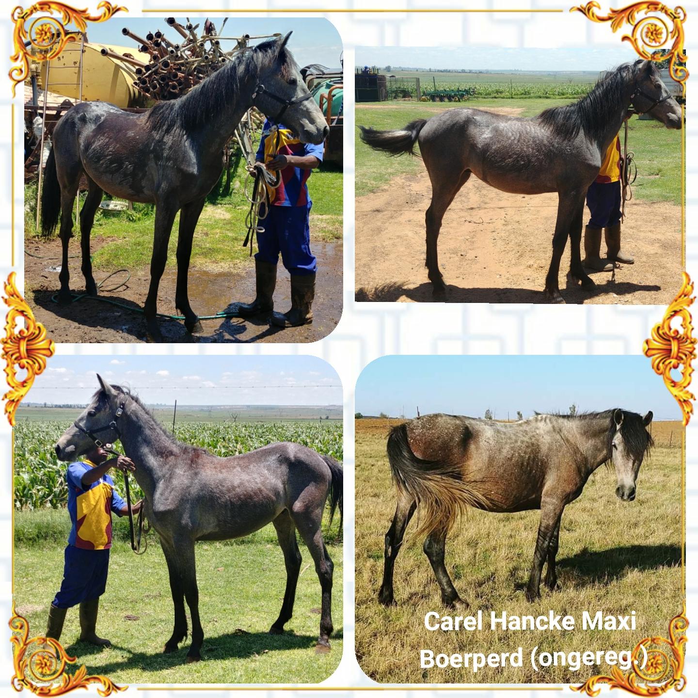 Boerperd cross Friesian colt for sale