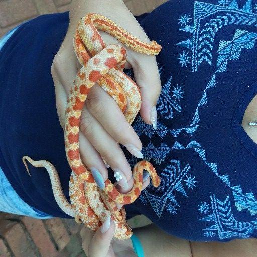 Albino Corn snakes
