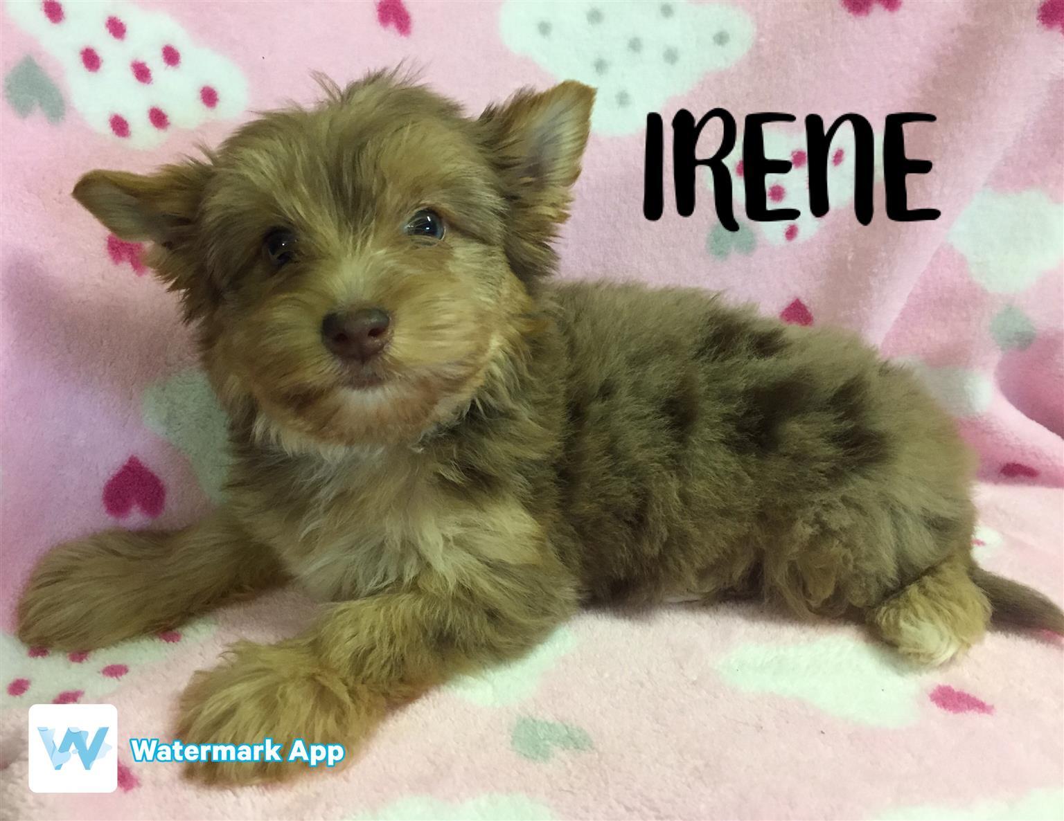 chocolate merle yorkshire terrier