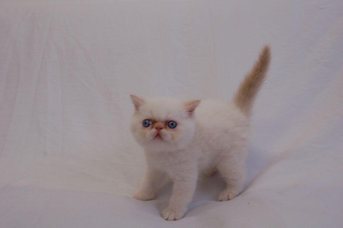 Purebred Persian/Himalayan Kittens