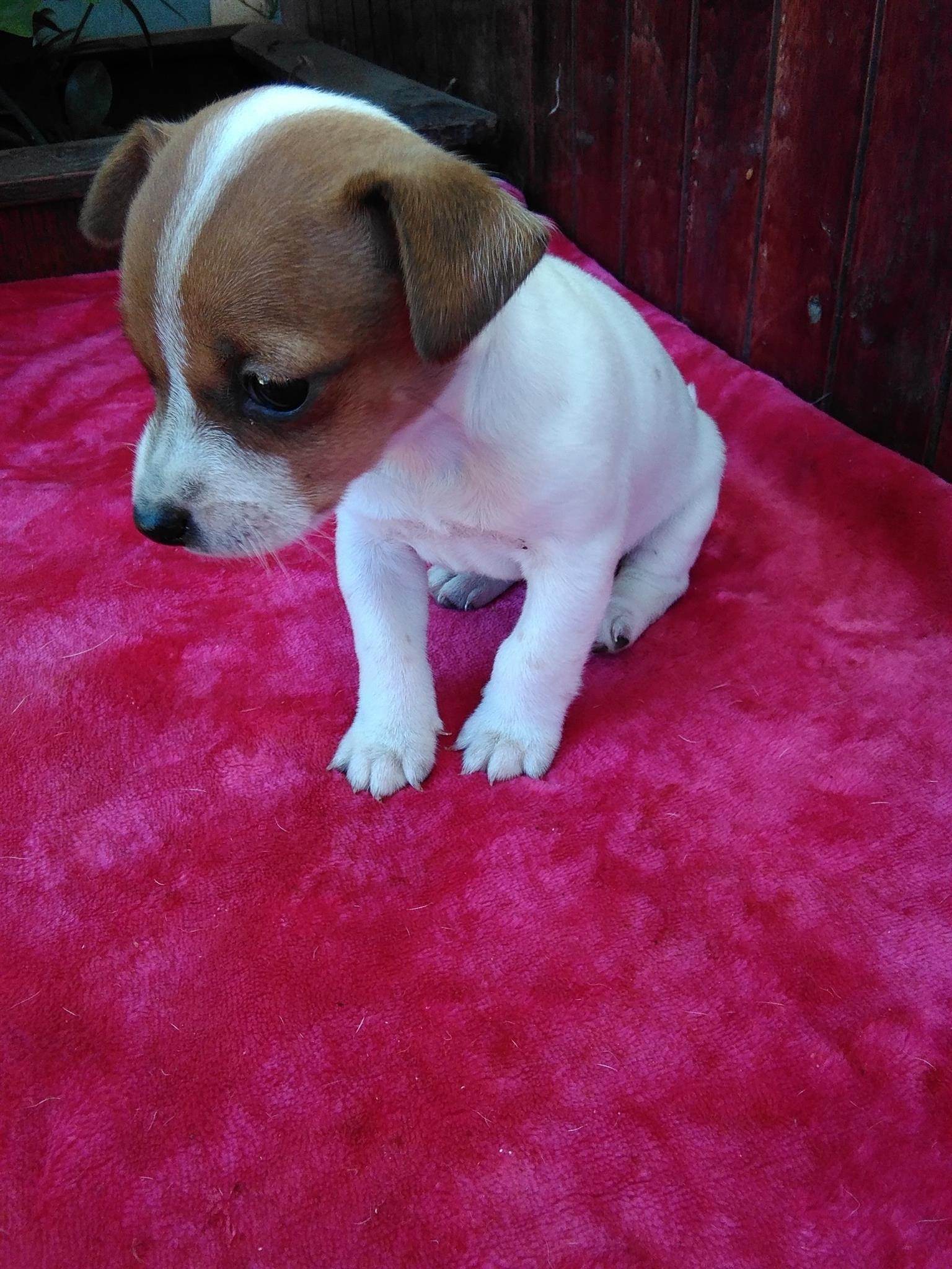Oulikste Jack Russel Puppies