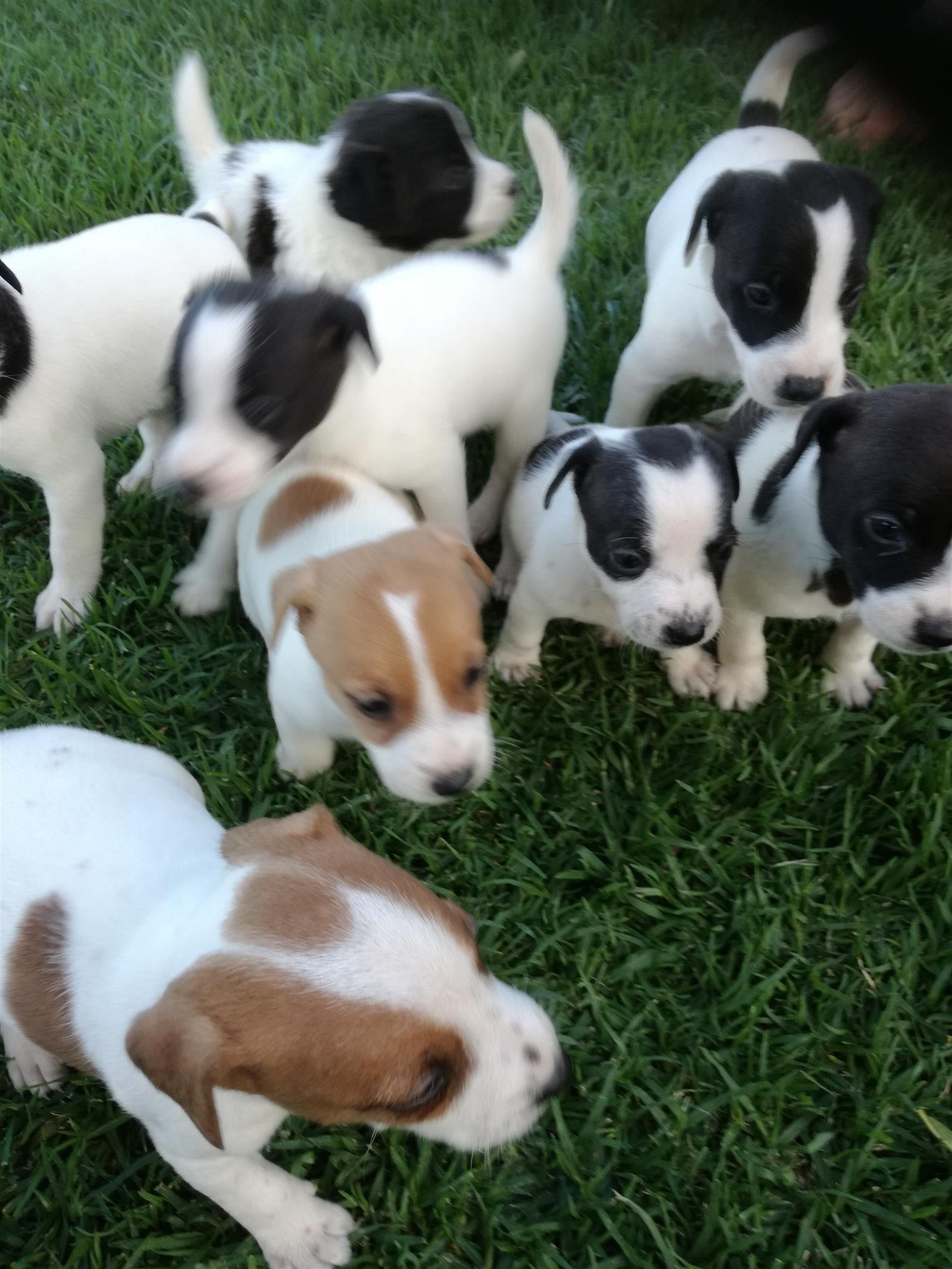 Jack Russell /Fox terrier puppies