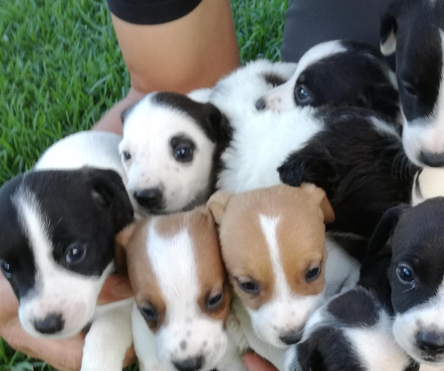 Jack Russell /Fox terrier puppies