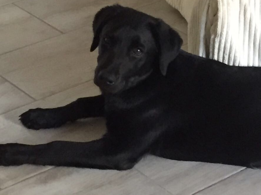 Labrador 6months