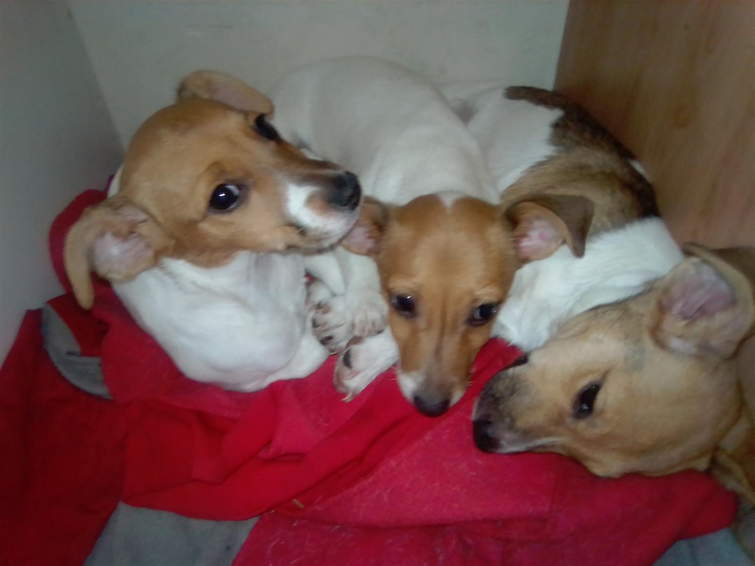 Jack Russell Terrier Pups x 3 - R500 Neg