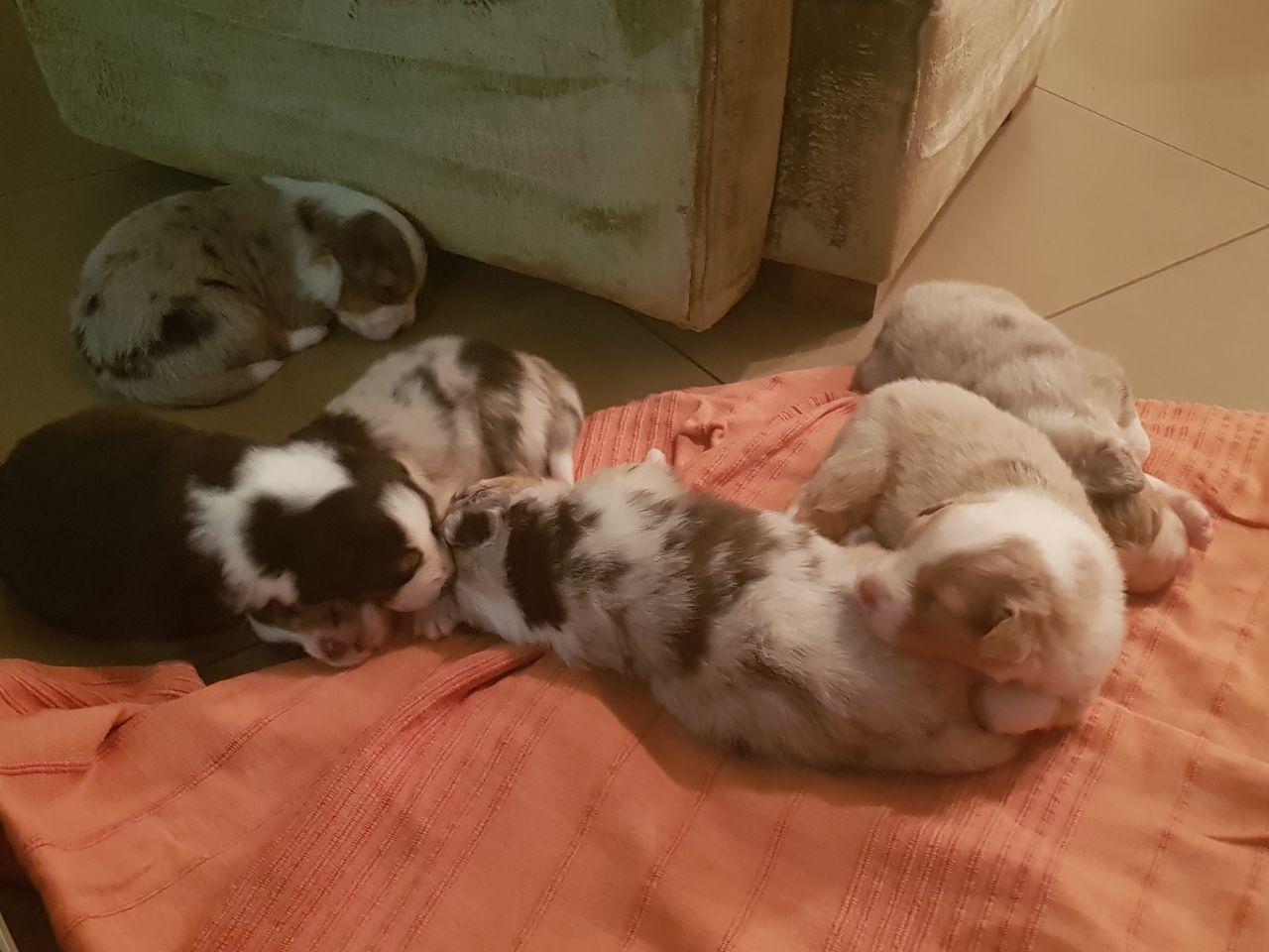 Beautiful Australian Shepheard puppies for sale