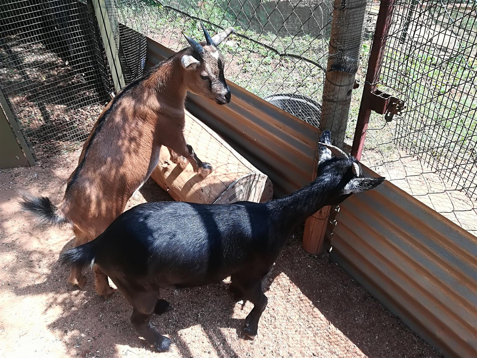 Mother and Daughter Kameroon Dwarf Goats