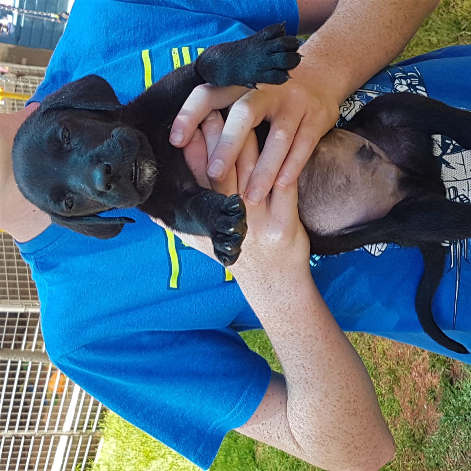 Labradane puppies