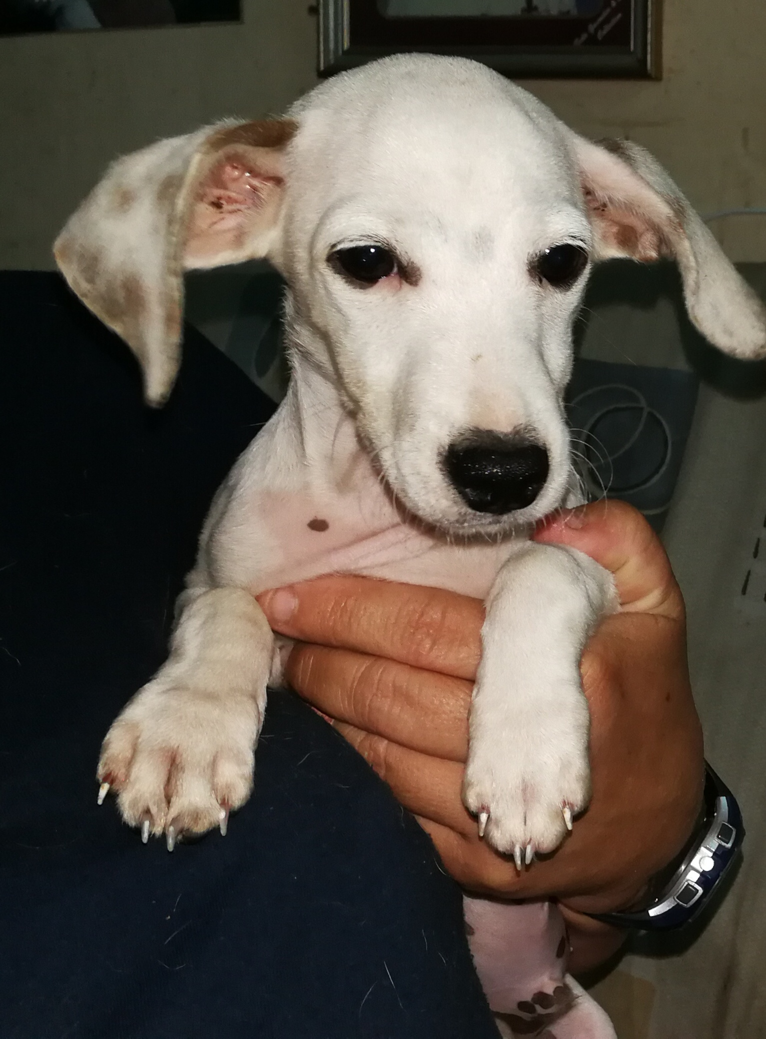 Rescue pup mix breed Dashhound x Jackrussel . Male