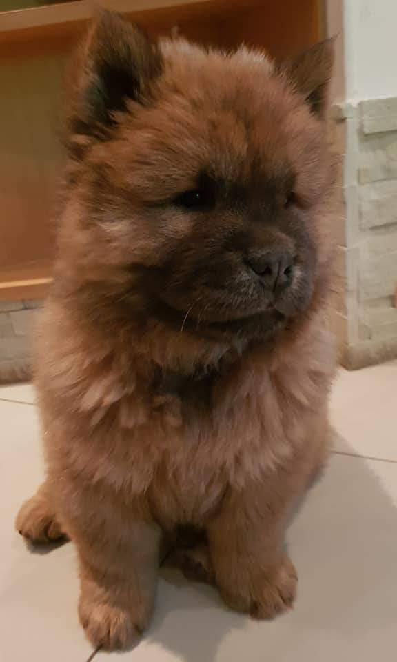 Chow Chow Puppy ×1 Male